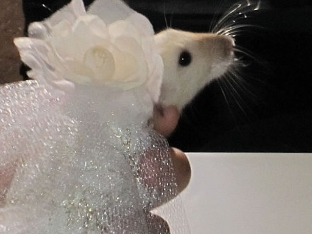 Fashion For Pet Rats 1 Couture Fashion for Pet Rats…Time for some Rat walk!